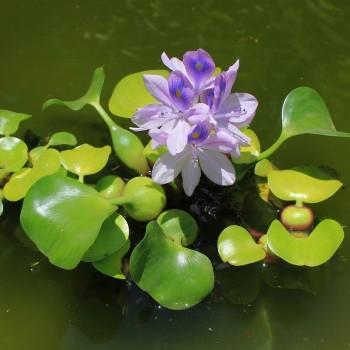 Эйхорния отличная или водяной Гиацинт (Eichhornia crassipes)