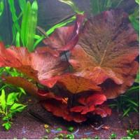 Нимфея Тигровая Красная (Nymphaea Tiger Lotus Red)