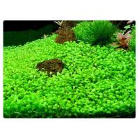 Глоссостигма (glossostigma elatinoides)