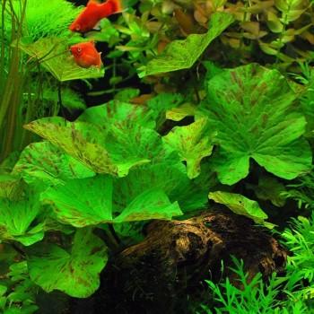 Нимфея Тигровая зеленая (Nymphaea Tiger Lotus Green)