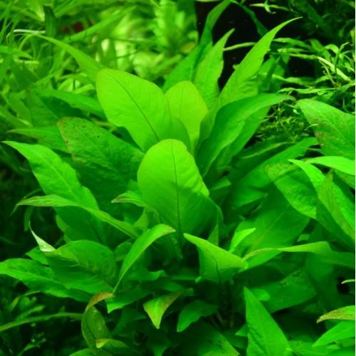 Гигрофила Лимонник Карликовый (Hygrophila Corymbosa Compact)