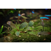 Bucephalandra sp. Shine Blue