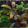 Bucephalandra sp. Shine Blue