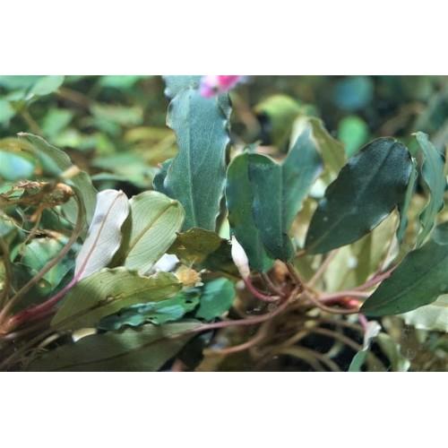 Bucephalandra sp. Suang Blue