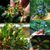 Bucephalandra sp.no name (5 шт)