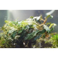 Bucephalandra sp. Dark Bliblis