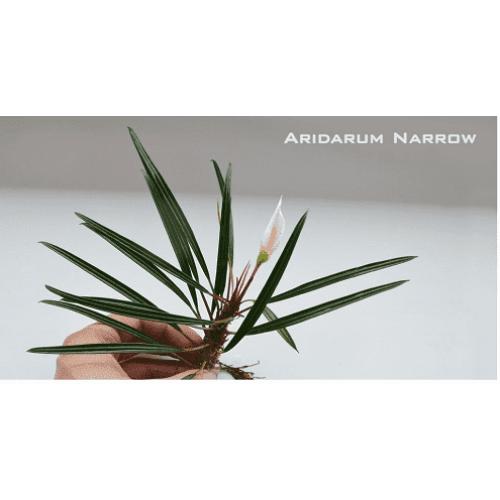 Bucephalandra Aridarum Narrow