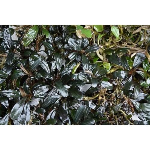 Bucephalandra sp suang black