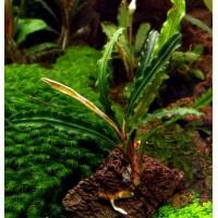 Bucephalandra sp. Green Velvet Leaf