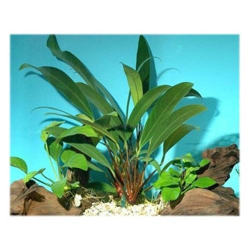 Анубиас бартера ангустифолия (anubias barteri angustifolia)