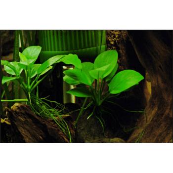 Анубиас бартери нана (Anubias barteri var. nana)