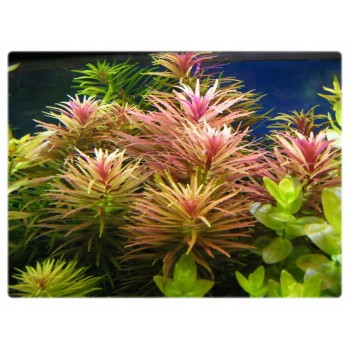 Аквариумные растения Лимнофила ароматика Интернет магазин купить - цена 220 руб - Ammania.ru
