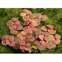 Филлантус плавающий (Phyllanthus fluitans).