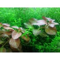 Людвигия Розе (Ludwigia sp. Rose)