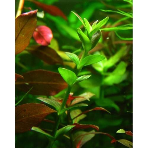 Линдерния крупноцветковая (Lindernia grandiflora)