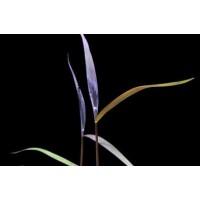 Poaceae Purple Bamboo