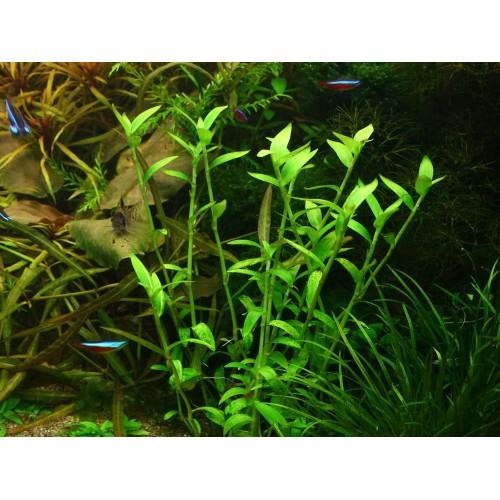 Артраксон щетинистый (Arthraxon hispidus)