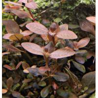 Людвигия сенегальская,Мехико(Ludwigia senegalensis, Ludwigia sp. Mexico)