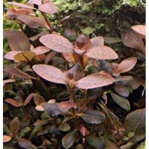 Людвигия сенегальская,Мехико (Ludwigia senegalensis, Ludwigia sp. Mexico)