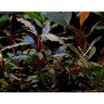 Bucephalandra sp. Kedagang red (godzilla)