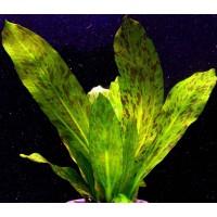 Эхинодорус Оцелот зеленый (Echinodorus ozelot)