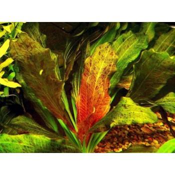 Эхинодорус Оцелот красный (Echinodorus Ozelot Red)