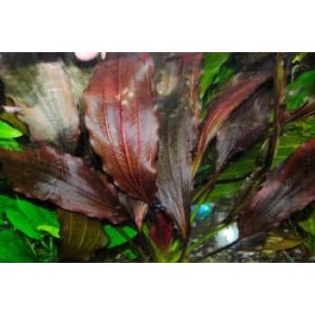 Эхинодорус Мичуринец Филиппова (Echinodorus The Color of Myster)