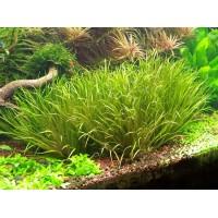 Бликса японская (Blyxa japonica) (пучок 5 кустов)