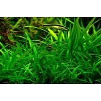 Сагиттария (Sagittaria) (5 метелок)