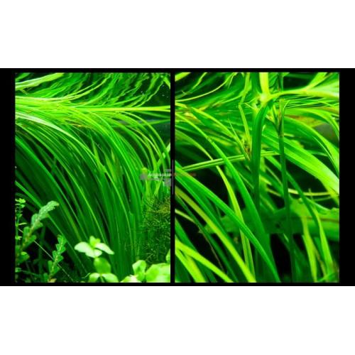 Циперус Хелфера (Cyperus helferi)