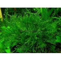 Мох Анхор (Anchor Moss - Taxiphyllum sp.)
