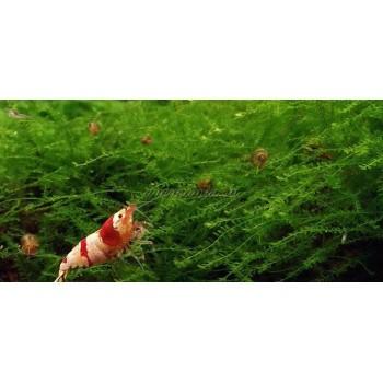 Мох квин (Queen moss)