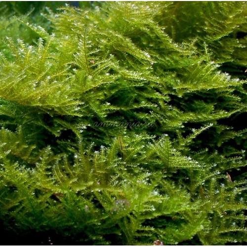 Мох Сингапур (Vesicularia dubyana - Singapore Moss)