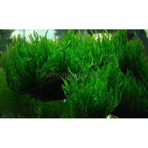 Мох пламя (Taxiphyllum sp. Flame, Flame moss)