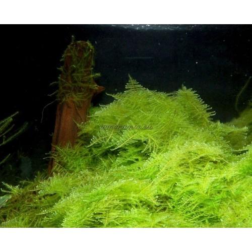 Мох Треугольный (Triangle Moss - Cratoneuron filicinum)