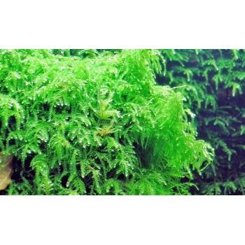 Мох Випинг (Vesicularia ferriei - Weeping Moss)