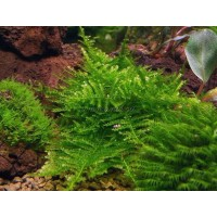 Moss na №2 mini