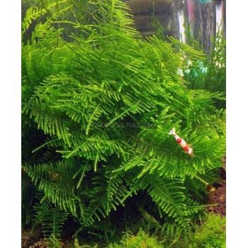 Мох Большая Южная Америка (moss sp. Giant Soufh America)