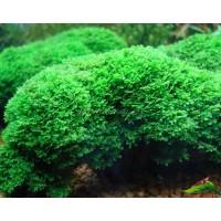 Риккардия (Riccardia chamedryfolia)