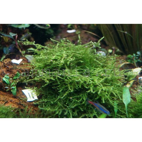 Giant Moss - Taxiphyllum alternans