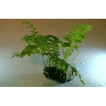 Asplenium cf. normale (Crepidomanes Auriculatum)