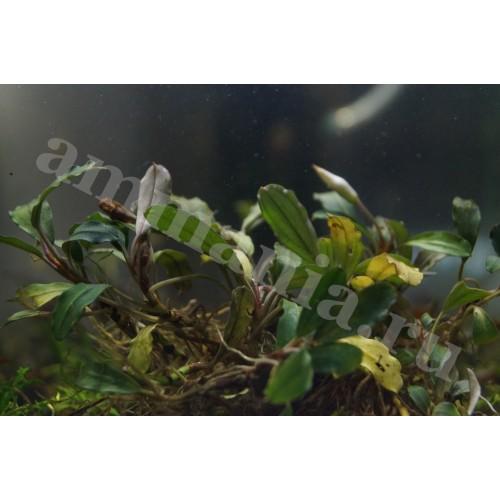 Bucephalandra sp. Apple Melawai