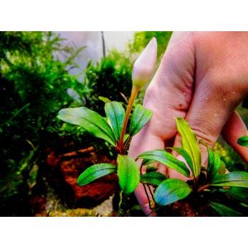 Bucephalandra apple leaf malinau
