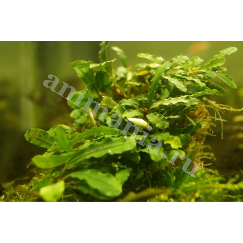 Bucephalandra sp. Mini Kujau