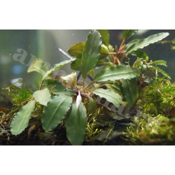 Bucephalandra sp. Nanga Pinoh