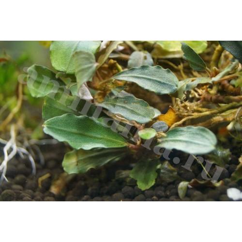 Bucephalandra sp. P Helena