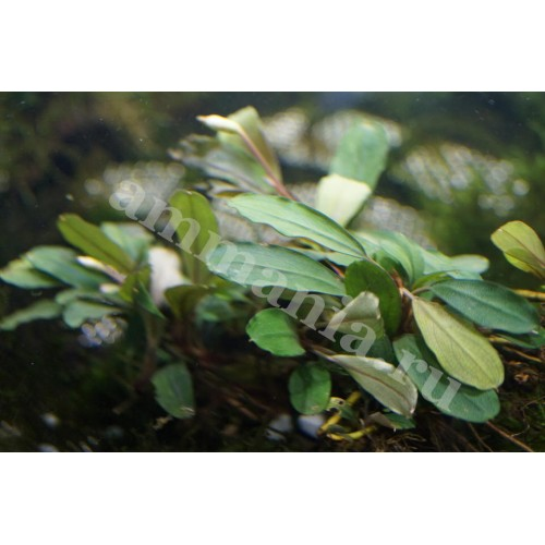 Bucephalandra sp. Red Suang