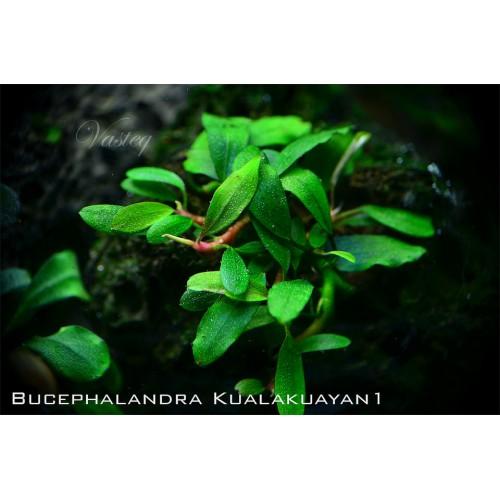 "Bucephalandra sp.""Kualakuayan-1"""