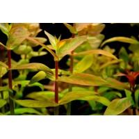 Аммания мультифлора (Ammania multiflora)