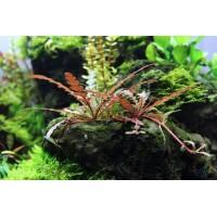Гигрофила перистонадрезанная / Гигрофила пиннатефида (Hygrophila pinnatifida) (3 ветки)